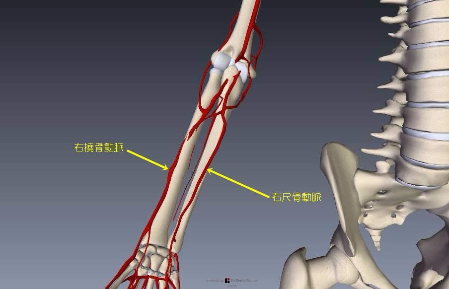 腕(上肢)の血管解剖イラスト画像11