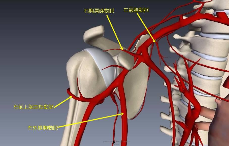 腕(上肢)の血管解剖イラスト画像8
