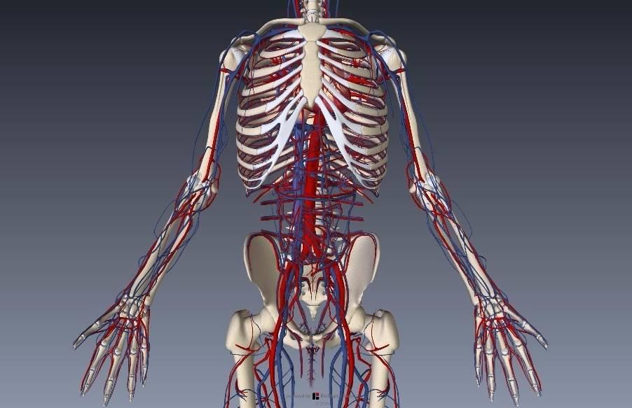 腕(上肢)の血管解剖イラスト画像2