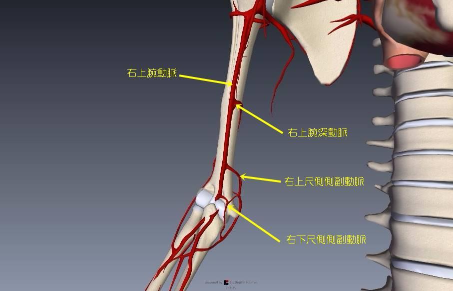 上肢血管解剖イラスト画像10