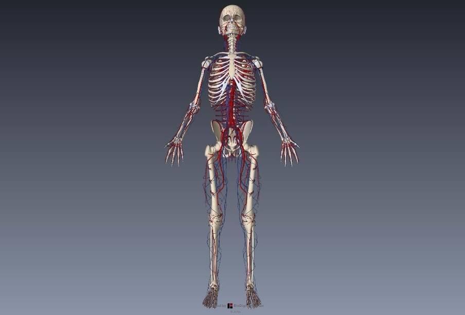 腕(上肢)の血管解剖イラスト画像1