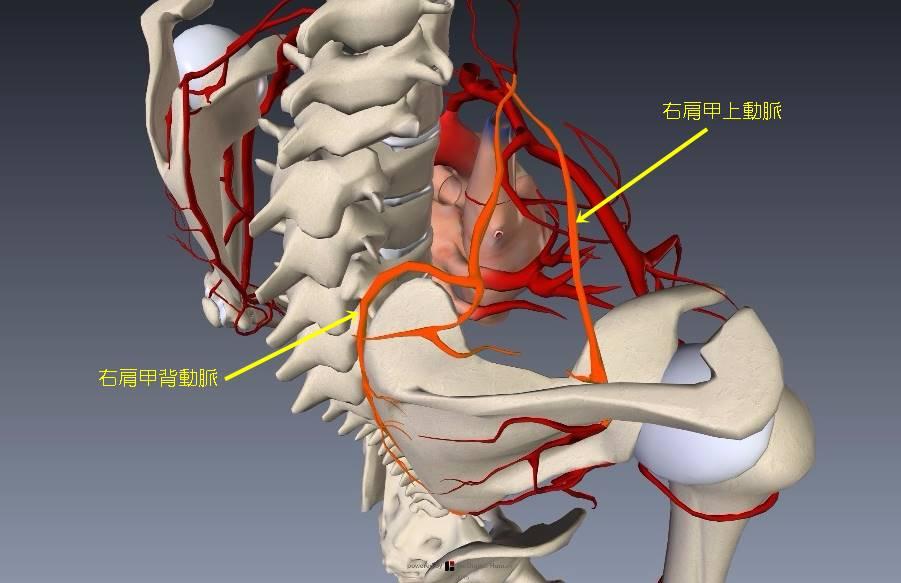 腕(上肢)の血管解剖イラスト画像7