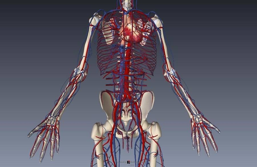 腕(上肢)の血管解剖イラスト画像3