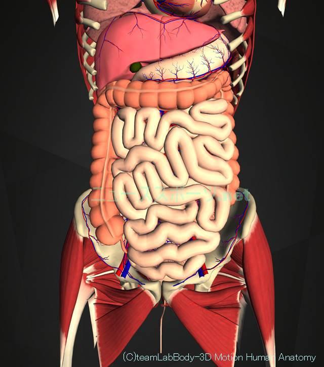 盲腸の痛みの場所を図や画像で解説!左じゃなくて右下腹部です3